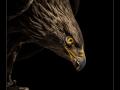 Adler auf dem Handschuh