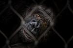 Schimpanse - Manfred Spies