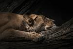 schlafende Löwin