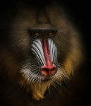 Mandrill - Manfred Spies